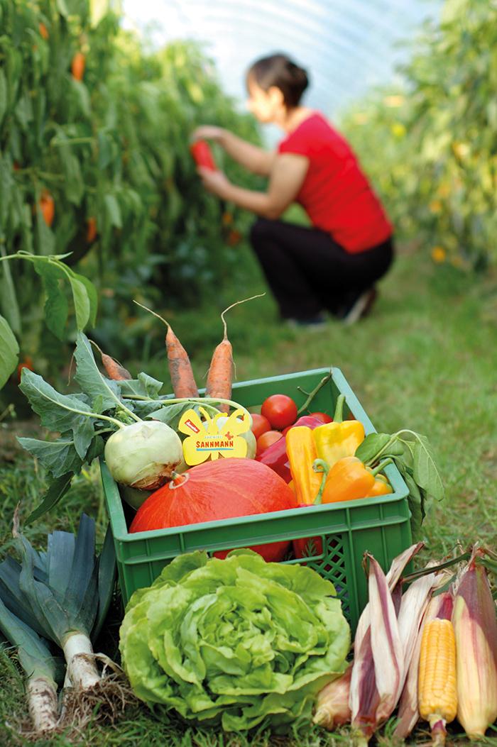 Gemüse-Ernte für die Abo-Kisten in der Gärtnerei Sannmann