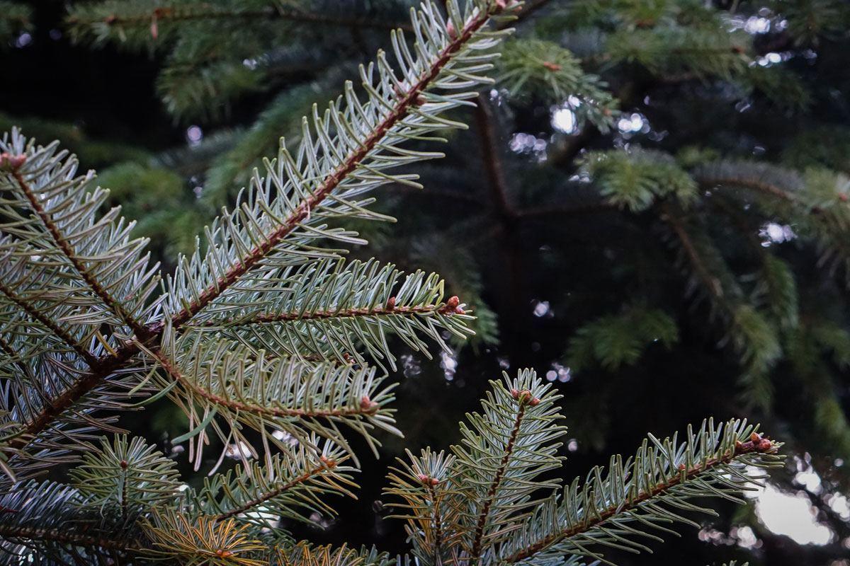 Weihnachtsbaum ökologisch ohne Glyphosat und Pestizide